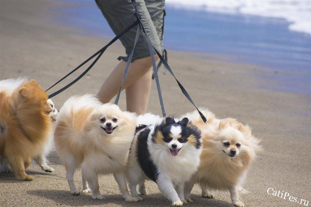 Выгул щенка шпица