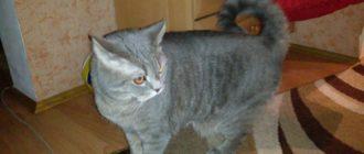 Американский рингтейл, круглохвостая кошка