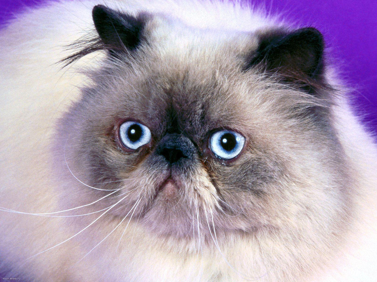 Кошка гималайской породы