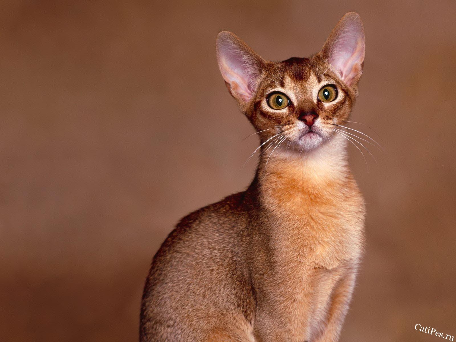 Абиссинская кошка - особенности ухода и содержания