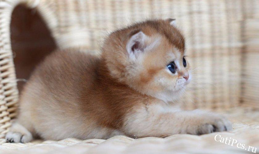 У вас появился котенок британской шиншиллы. Что делать?