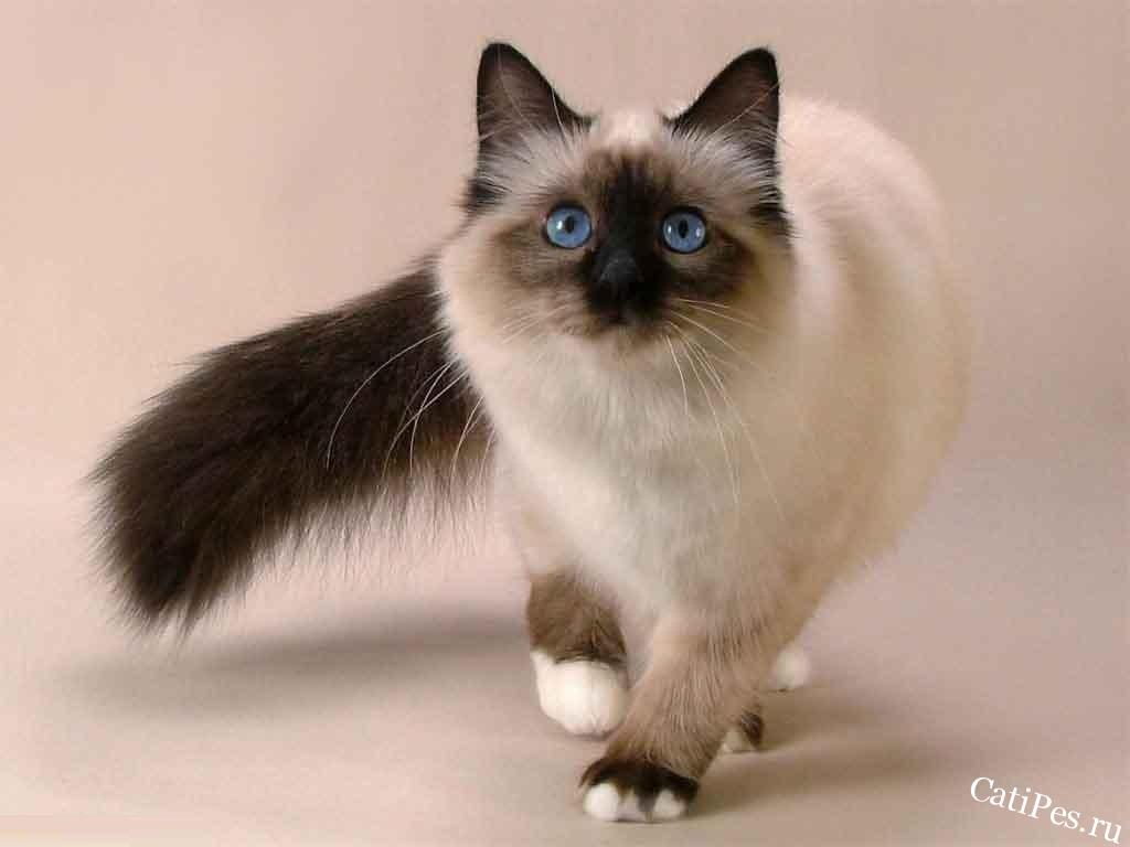 Балинезийская кошка - характер, уход, питание и болезни пород