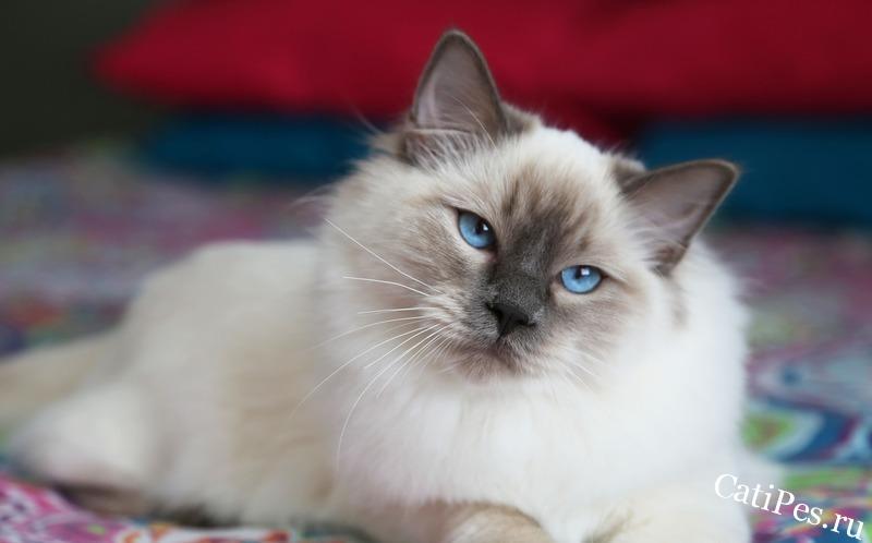 Балинезийская кошка - длинношерстная родственница сиамов