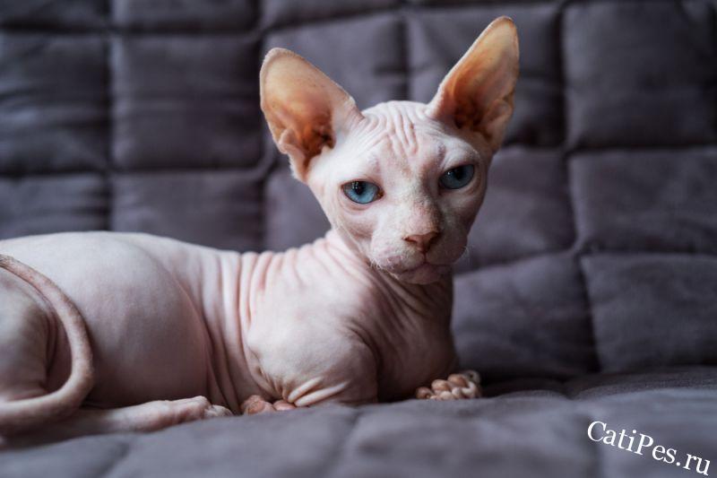 Порода кошки бамбино: характеристики, фото, характер, правила ухода и содержания