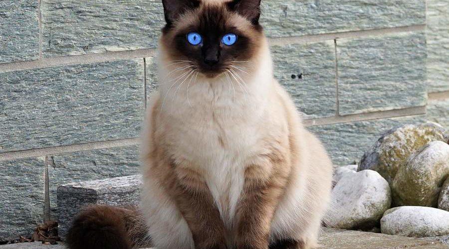 Балинезийская кошка: описание, история, уход