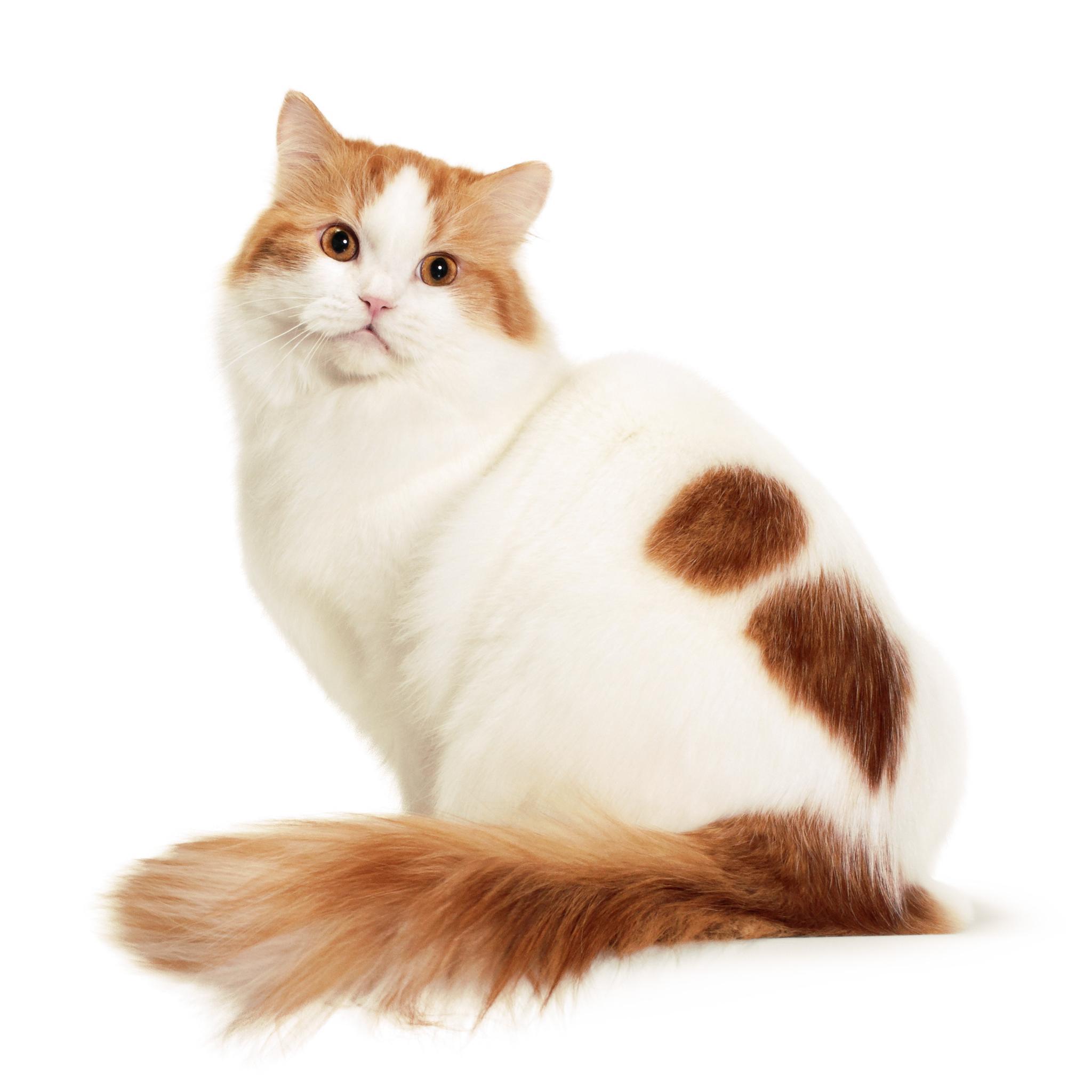 Рагамаффин – фото кошки, описание особенностей породы