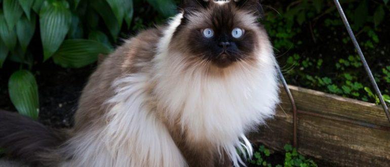 Гималайская кошка характеристика породы