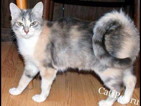 Порода кошек Американский рингтейл