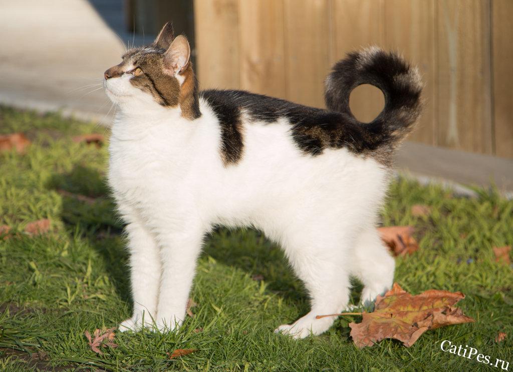 Американский рингтейл - кошка с хвостом кольцом