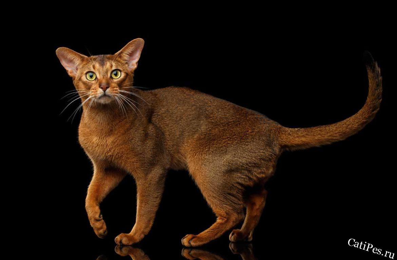 Абиссинская кошка: сколько стоит содержание