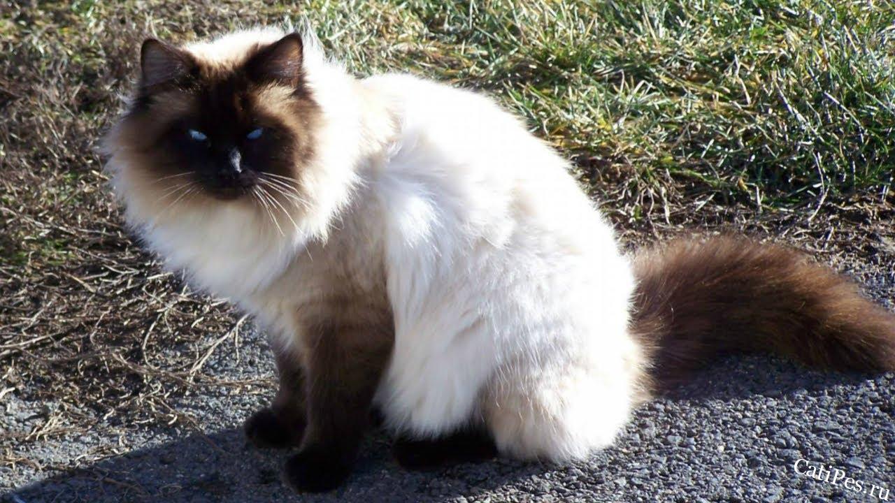 Порода кошек. Балинезийская кошка