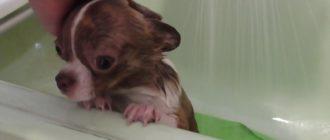 Мытье собаки: секреты здоровой шерсти