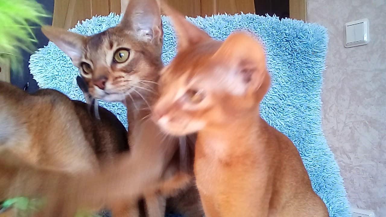 Как ухаживать за абиссинской кошкой