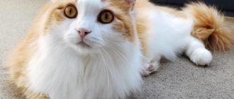 Рагамаффин - это большой, добрый и игривый кот