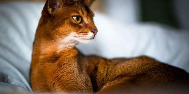 Содержание Абиссинских кошек в деталях