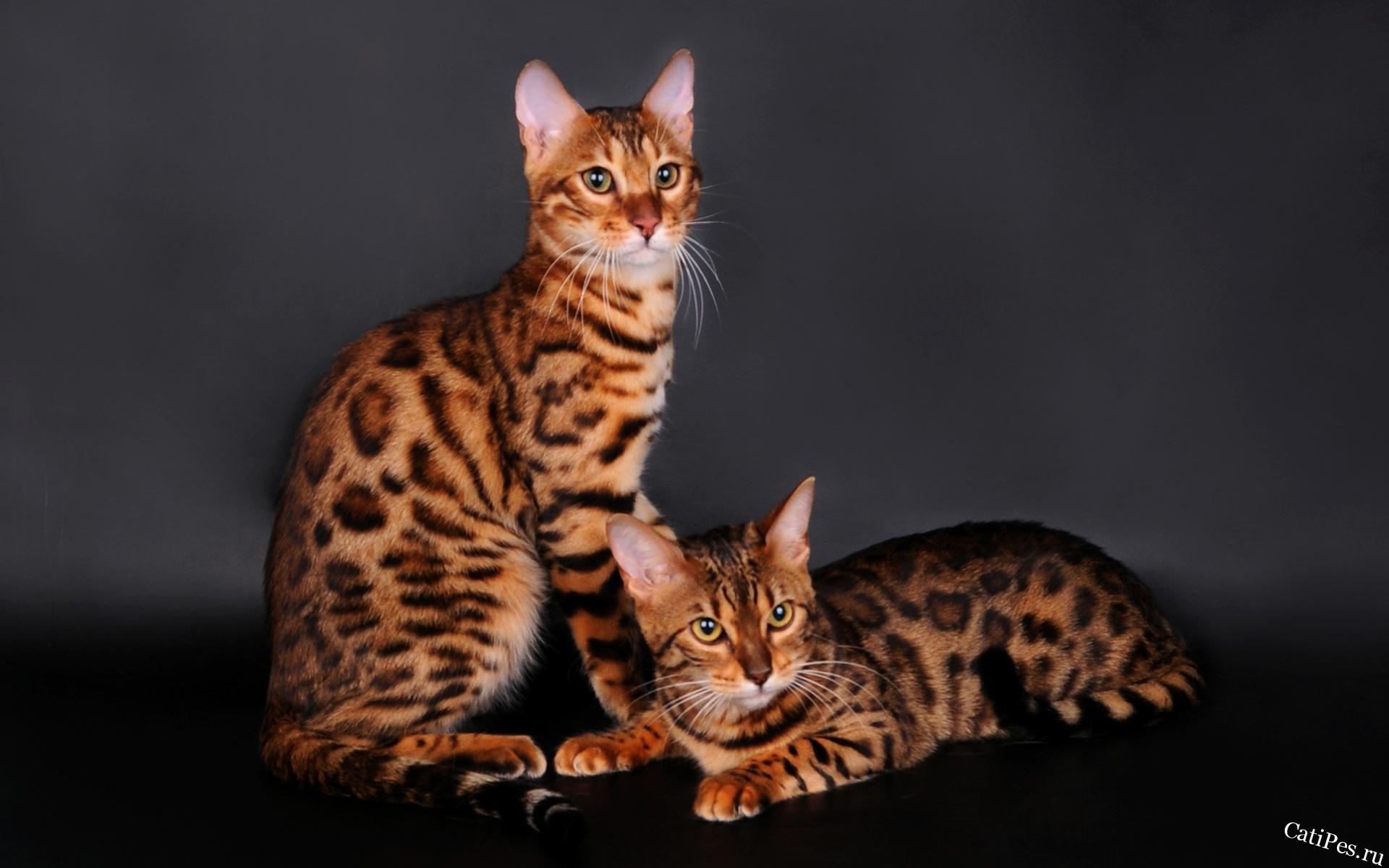 Как ухаживать за бенгальскими кошками