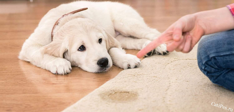 Что делать если собака писает в доме