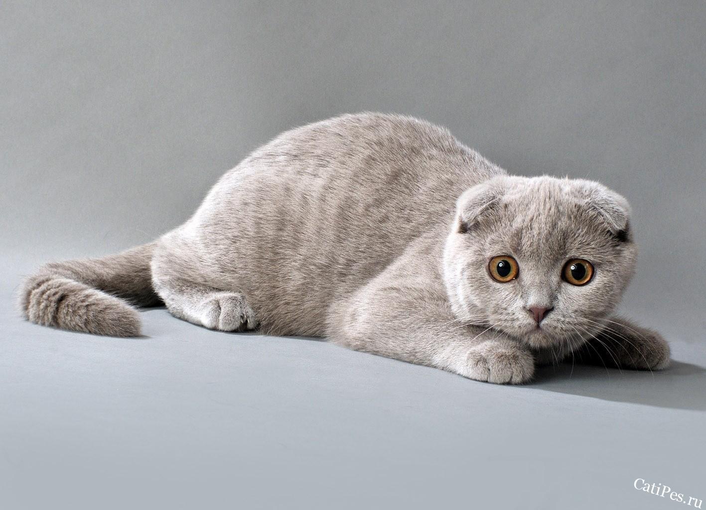 Происхождение и содержание британской вислоухой кошки