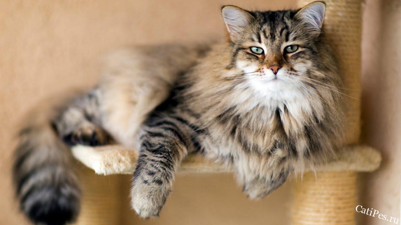 Сибирская Кошка - Породы Кошек