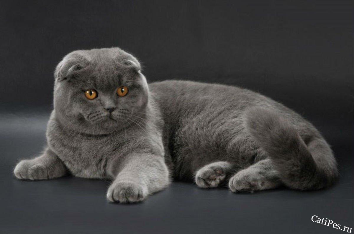Кошка британская вислоухая