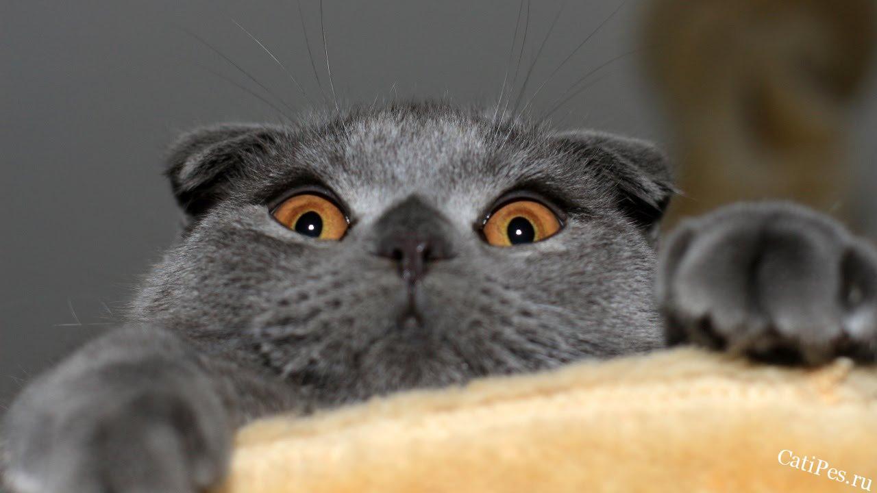 Британская вислоухая кошка: что это за порода