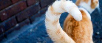 Зачем кошкам хвост