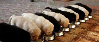 Как правильно кормить щенка лабрадора